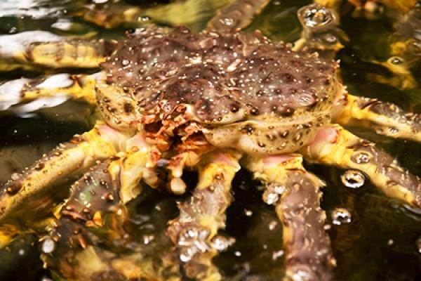 來自智利的帝王蟹